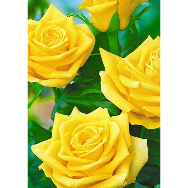 Роза чайно-гибридная Линия огня