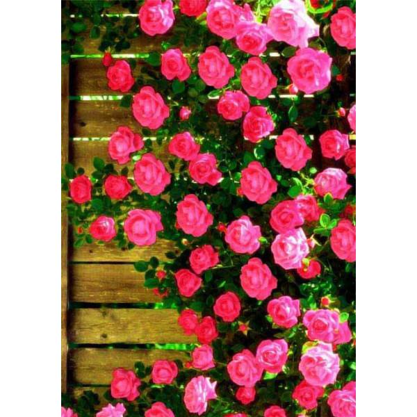 Роза плетистая Маэстро