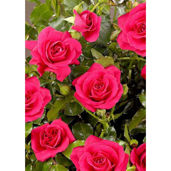 Роза спрей Мирабель